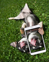cute chihuahua playing in the grass licking his nose taking a selfie upside down