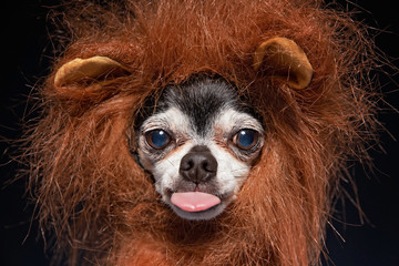 In de dag Leeuw cute chihuahua lin a lion mane costume in a studio setting