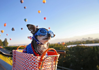 Aluminium Prints Bicycle cute chihuahua sitting in a bike basket at sunrise with a hoodie and goggles