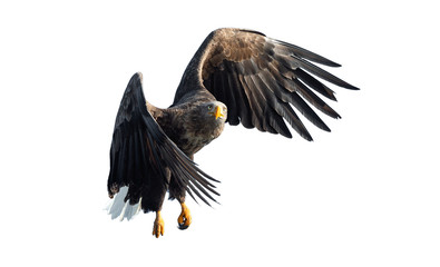 Adult White tailed eagle in flight. Isolated on White background. Scientific name: Haliaeetus albicilla, also known as the ern, erne, gray eagle, Eurasian sea eagle and white-tailed sea-eagle. Fotomurales