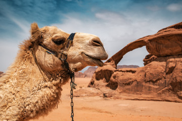 Photo sur Toile Chameau camel in Wadi Rum desert