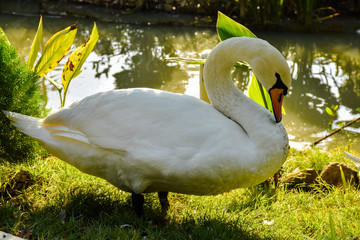 Photo sur Aluminium Cygne outside at farm park one white swan wildlife animal is beautiful on the grass and behind there is water.
