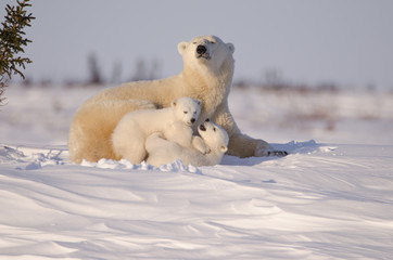 Fotorolgordijn Ijsbeer Polar Bear Family in Wapusk National Park
