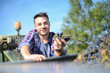 handsome man farmer in the vine proudly looking at the ripe grapes harvest during wine harvest season in vineyard