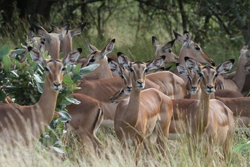 Imapla Antilope in Afrika