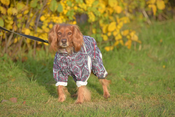 spaniel in overalls on the lawn