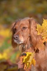 red english spaniel on autumn background