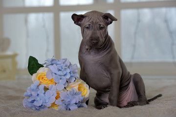 cute gray thai ridgeback puppy and a bouquet  flowers