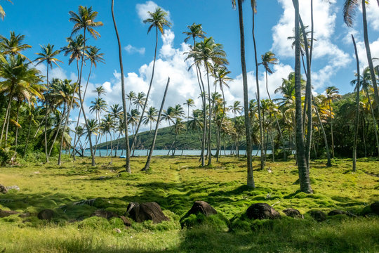 Palm grove and atlantic ocean view from the hill of Bequia island in Saint Vincent and the Grenadines
