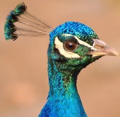 Photo sur Toile Paon Portrait-nice head of a peacock bird
