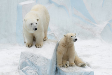 Papiers peints Ours Blanc Funny polar bear. Polar bear sitting in a funny pose. Two white bear