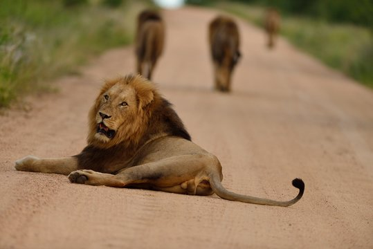 Group of lions walking away on a road with one lazy lion resting behind