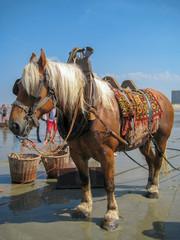 Wall Murals Horses Cheval paard à la mer, pêche les crevettes grises en été à Oostduinkerke sous un ciel bleu