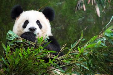Wall Murals Panda cute eatting giant panda