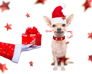 Foto op Plexiglas Crazy dog christmas santa claus dog