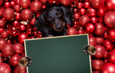 Poster Crazy dog christmas santa claus dog and xmas balls or baubles as background