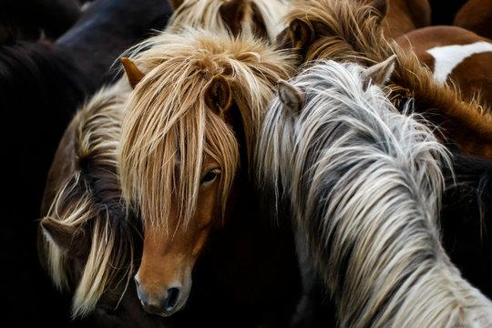 Troupeau dense de chevaux islandais