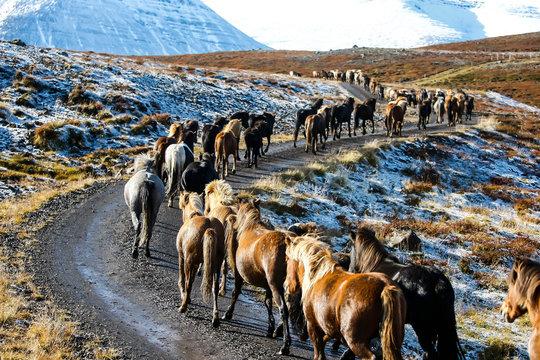 Troupeau de chevaux islandais en liberté sur une piste en Islande