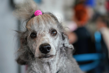 Gray poodle dog getting groomed at dog show contest, detail on funny looking face, pink rubber band in hair