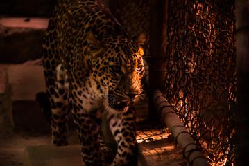 Photo sur Aluminium Leopard leopard print
