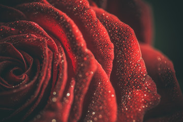 Foto op Aluminium Bloemen Beautiful red rose in dark colors with dew drops.