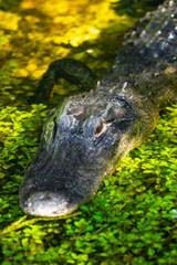 Alligator head. Everglades National Park. Florida. USA.