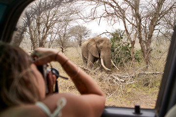 Woman taking a picture of an elephant from the car window, Kruger National Park, Lesotho, Africa