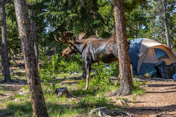 Moose in a Camping site  Wall mural