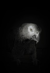 Fotobehang Papegaai Greyscale shot of a parrot with a black background