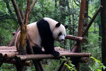 Fotobehang Panda Endangered Giant Panda Bear in Chengdu China