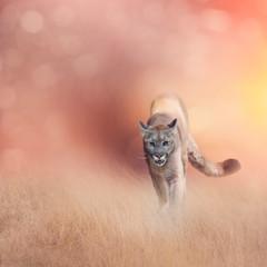 Printed kitchen splashbacks Puma American cougar or puma in grassland