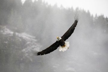 Bald eagle flying over with wings spread