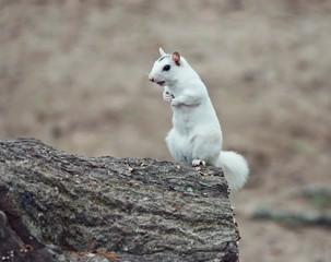 wild white albino squirrel  on a tree