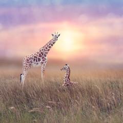 Two giraffes in grassland
