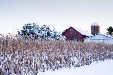 Fototapeta Snow covered corn stalks next to a barn in December