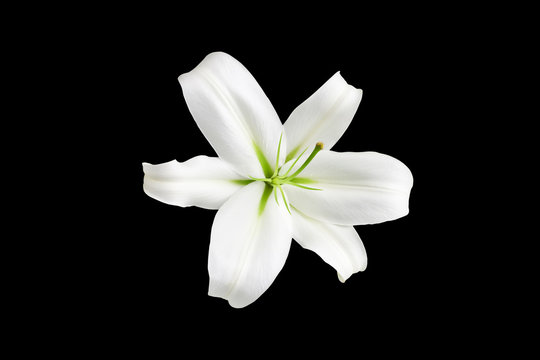 One big white lily flower with green stamens on black background isolated close up top view, single beautiful blooming lilly flower macro, floral pattern, decorative design element, elegant art decor