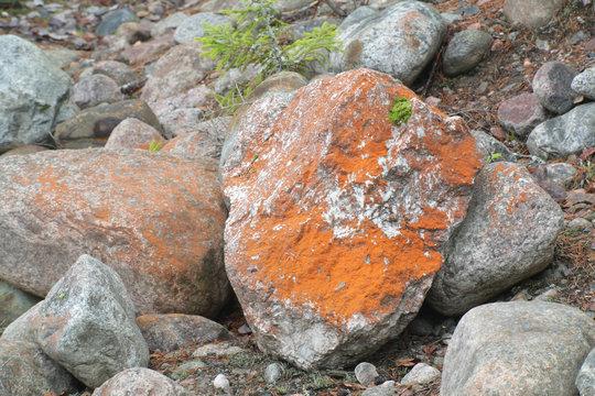 Trentepohlia aurea, a terrestrial green alga growing on carbonate rock in Finland