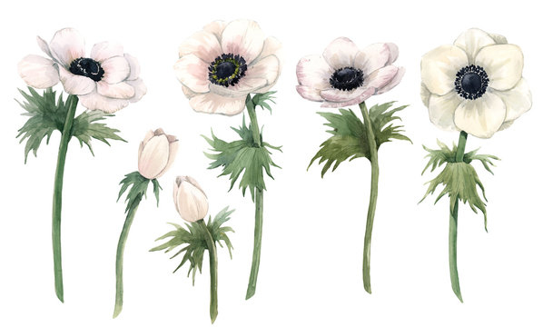 Beautiful watercolor floral set with isolated anemone flowers. Stock illustration.