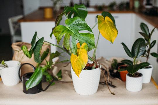 Sick monstera plant with yellow leaves