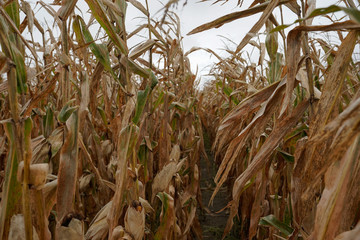 A corn field stands ready for harvesting on Gormong near Terre Haute