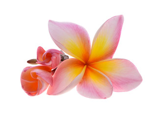 La pose en embrasure Frangipanni plumeria rubra flower isolated on White background