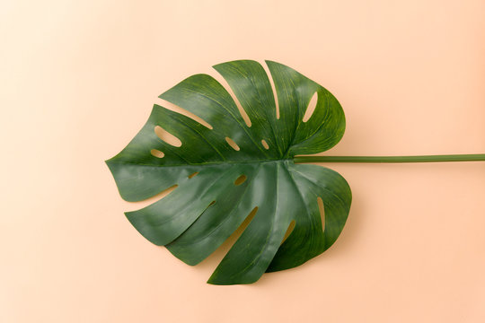 nature, flora and plants concept - green monstera deliciosa or swiss cheese plant leaf on beige background