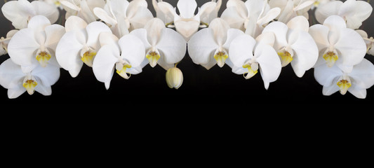 Beautiful white orchids isolated on black background panorama banner