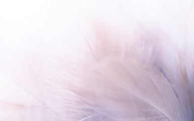 Image nature art of wings bird,Soft pastel detail of design,chicken feather texture,white fluffy twirled on transparent background wallpaper Abstract. Coral Pink color trends and  vintage.