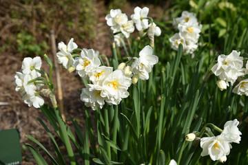 Papiers peints Narcisse Narcisse blanc au printemps