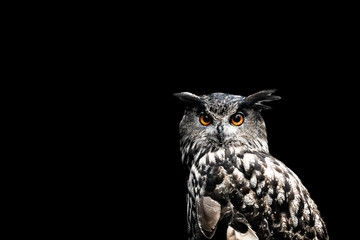 Foto op Aluminium Uil Eurasian eagle owl with a black background