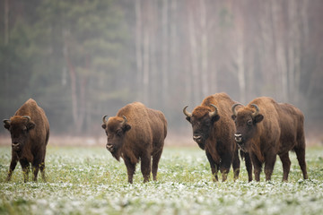 Photo sur Aluminium Buffalo European bison - Bison bonasus in the Knyszyn Forest (Poland)