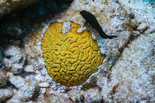 yellow brain coral and tropical fish on coral reef in florida ocean key largo