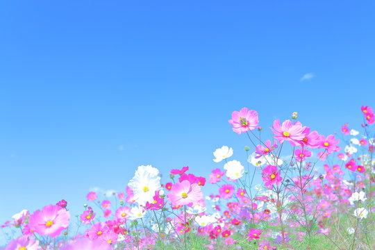 Garden Cosmos, Cloud, Grass field
