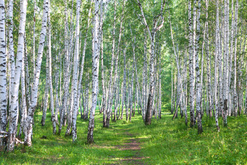 Beautiful birch forest in summer
